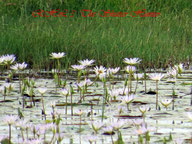 "Lotus Lilly""s blooming in the wetlands"