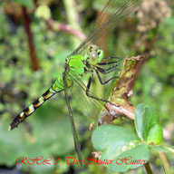 Macro-Photography of Dragonflies