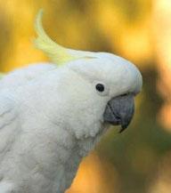 nos oiseaux de compagnie comme Ara sévère, Ara noble, Grands Aras, Amazone, Cacatoès, Gris d'Afrique, Conure, Inséparable, Perruche, Cockatiel, Youyou, Meyer, Pionus, Quaker, Perruche à collier, Grand