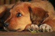 Hundehaare gegen Marder als Marderabwehr, Marder mit Hundehaaren vertreiben