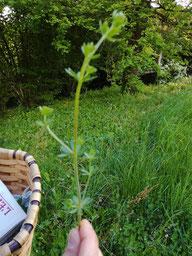 Gaillet gratteron contre coups, eczéma, psoriasis, ampoules, saignements - Coubortiges, sur la commune de Pouffonds, à quelques kilomètres de Melle en Sud Deux-Sèvres