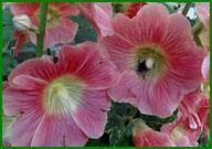 Data Stokrozen-Hortensia-Hemerocallis-Bamboe Dagen in de Noordoostpolder