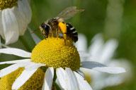 Eine Biene auf einer Kamillenblüte. (Foto: Frank Gottwald)