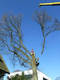 Kranfällung- Baumfällung mit Baumkletterer und Autokran