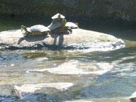 Foto Heidrun Langer - Schildkröten im Westpark München