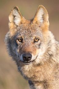 Wolf Bild: NABU/J. Borris