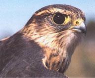 Wie alle Falken hat der Merlin extrem gute, nach vorne gerichtete Augen.