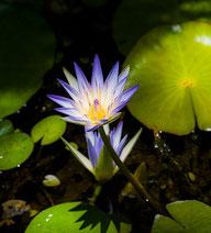 Die tropische Seerose, Leica M9, 50mm Summicron. Foto: Klaus Schoerner