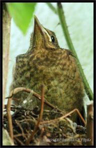 junge Amsel Nest