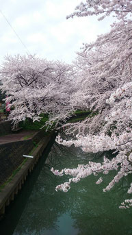中須川と桜