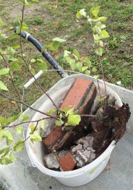 Wurzelwerk eines Birkensämlings aus einem Ziergiebel