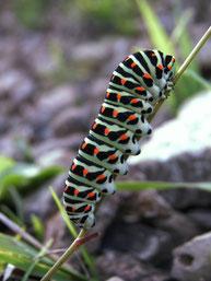 Raupe des Schwalbenschwanz, Papilio machaon