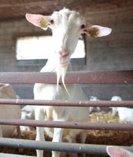 Chèvre saanen  dans la chèvrerie de la ferme de La Pérotonnerie de Rom