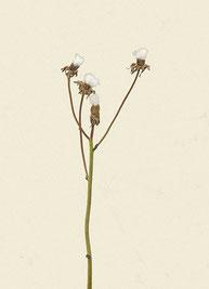 Pflanze (#11), Pigmentdruck auf Hahnemühle Photo Rag 308 g/m²