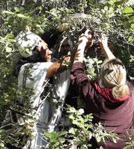 Sauvetage de trois oisillons et réparation de leur nid...