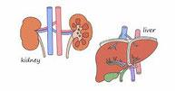 肝臓と腎臓に集中