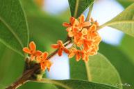 花の写真集:キンモクセイ(別ページに移動します)