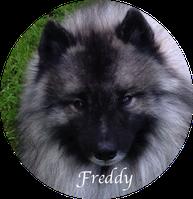 Deckrüde Wolfsspitz Freddy von der Roemerroute