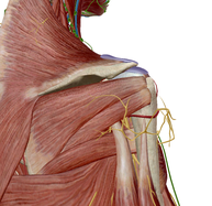 腋窩神経 外側上腕皮神経