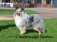 Visit Cluainutaigh Shelties Website