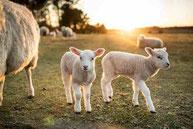 マザーアースニューズ 羊 農