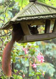 Eichhörnchen am Futtrhaus