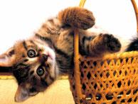 chaton brun sort de son panier coucou farceur