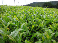 宮崎県産有機紅茶葉