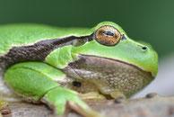 Amphibien & Reptilien, Laubfrosch