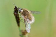 Insekten, Wollschweber