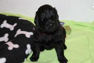 Herr Dunkelrot, 3,5 Wochen alt.