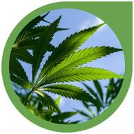 Outdoor Cannabis Anbau - Cannabis Pflanzen im Freien
