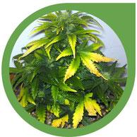 Cannabis Pflanzen Probleme - Anbau Fehler, Krankheiten & mehr