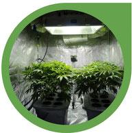 Die Grundlagen zur Indoor Cannabis Zucht