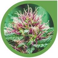 Die Grundlagen über die Cannabis Zucht