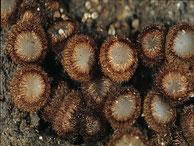 Trichophaeopsis paludosa