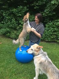 HD Hund, ED Hund, Sponyose Hund, Athrose Hund, schmerzen Hund, Hundephysiotherapie Augsburg