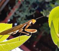 Mantis religiosa ©Foto Christine Winkler
