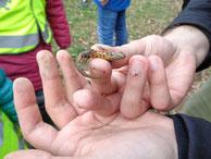 """Dieser Teichmolch wurde im letzten Jahr bei unserem """"Krötentaxi"""" gefunden (Foto: Gudrun Edner)"""