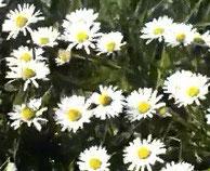 Das Gänseblümchen ist eine der bekanntesten Wildblumen, die oft in dichten Beständen wächst. Das Gänseblümchen erreicht bis 20 Zentimeter Höhe. Einige Varietäten werden als Gartenpflanzen gezogen.