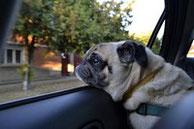 Un chien de race carlin beige passe la tête à la fenêtre d'une voiture par coach canin 16 éducateur canin en charente