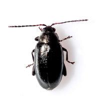 Phyllotreta atra
