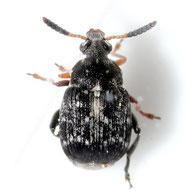 Bruchus luteicornis