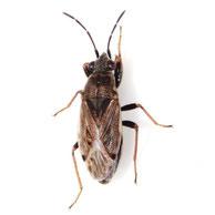 Peritrechus gracilicornis