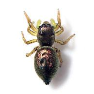 Heliophanus auratus