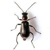 Sphinginus lobatus
