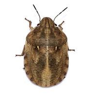 Eurygaster maura