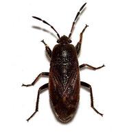 Megalonotus chiragrus