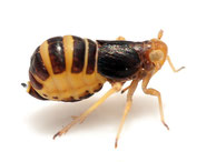 Ditropis pteridis