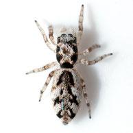 Salticus cingulatus